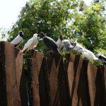 Pourquoi y a-t-il beaucoup de pigeonnier dans le Gers ?